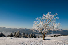 Snowy tree. A snowy tree with a blue background and footsteps in the fron Royalty Free Stock Photo