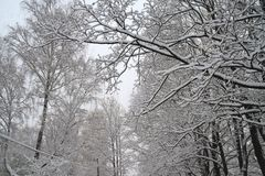 Snowy tree background Royalty Free Stock Image
