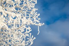 Snowy tree from below blue sky background. Snowy tree from below, blue sky background royalty free stock images