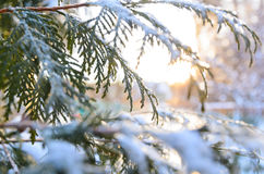 Snowy tree branch at sunset Royalty Free Stock Photo