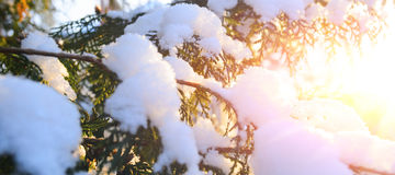 Snowy tree branch at sunset Royalty Free Stock Image