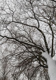 Snowy tree branch view from the bottom up Stock Photography