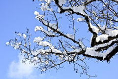 Snowy tree branch Stock Photography