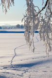 Snowy tree branches Royalty Free Stock Image