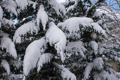 Snowy Tree Branches Stock Image