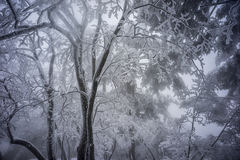 Snowy tree branches mountain huangshan. Snowy tree branches covered by snow and fog Stock Images