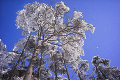 Snowy tree branches mountain huangshan. Snowy tree branches under blue sky Stock Photo