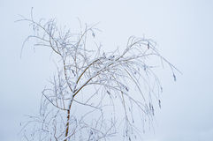 Snowy tree branches. Thin snowy tree branches and trunks against the sky in winter stock images