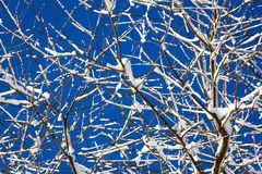 Snowy Tree Branches Royalty Free Stock Photo
