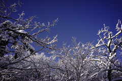 Snowy tree branches Stock Photography