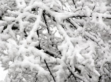 Snowy tree branches at winter Royalty Free Stock Photo
