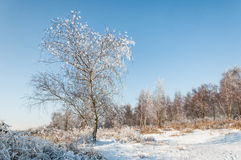 Snowy tree on a cleared area in the forest. Lone tree covered with snow against a sunny blue sky in na nature area in wintertime Stock Photography