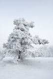 Snowy tree in countryside. Scenic view of snow covered tree in countryside, white background Stock Photography