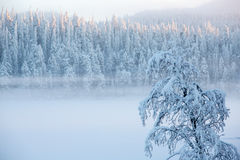 Snowy tree with fog on a winter pine trees landscape Royalty Free Stock Photography