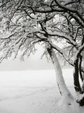 Snowy tree. In the forest Stock Image