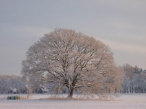 Snowy tree. Majestic tree on a winter day Stock Photo