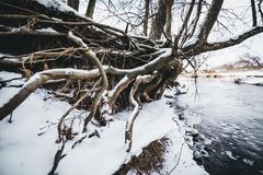 Snowy tree roots on shore of icy winter river. In Lithuania Royalty Free Stock Image