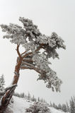 Snowy Tree. At Slope In The Mountain Stock Photography