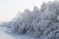 Snowy tree. Snow-covered forest in the Ural Mountains Royalty Free Stock Photo