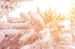 Snowy tree in sunlight New Year trip - concept Stock Photos