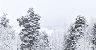 Snowy tree tops against grey sky. Snowy tree tops on a grey winter day royalty free stock images