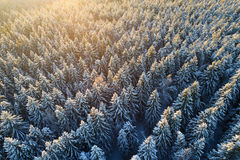 Snowy tree tops in sunlight Royalty Free Stock Image