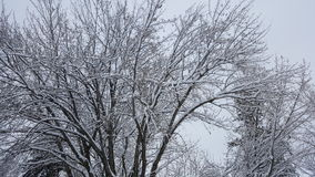 Snowy tree. Trees in winter Royalty Free Stock Image