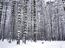 Snowy tree trunks Stock Photo