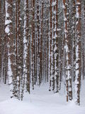Snowy tree trunks Royalty Free Stock Photography