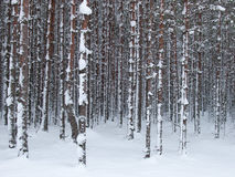 Snowy tree trunks Stock Photo