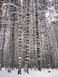 Snowy tree trunks Royalty Free Stock Photo