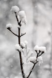 Snowy tree twig winter Royalty Free Stock Photos