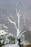 Snowy Tree on West Rim Grand Canyon. Snow covered tree branches on edge of West Rim of Grand Canyon amid frosted shrubs. Stormy sky and fogged in cliff in Royalty Free Stock Image