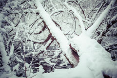 Snowy tree. Winter forest at region Orava, Slovakia stock images
