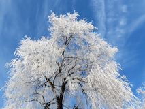 Snowy tree in winter, Lithuania Royalty Free Stock Photos