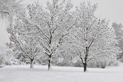 Snowy trees. Three deeply snow covered trees besides Lake Thun royalty free stock photo