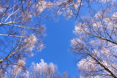 Snowy trees. Snow-covered trees against the blue sky Royalty Free Stock Photography