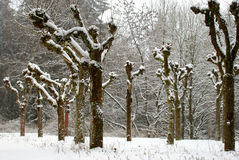 Snowy Trees. Row of snow covered trees near forest stock photo