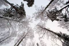 Snowy trees Royalty Free Stock Photos