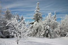Snowy trees Royalty Free Stock Images