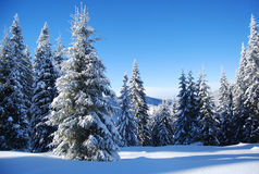 Snowy trees. Snow covered pine trees in transylvania Royalty Free Stock Images