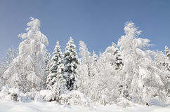 Snowy trees. Snowcovered trees, photographed on the morning after the snow stopped falling and sky cleared Royalty Free Stock Photography