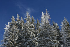Snowy trees. Snow covered trees on blue sky Stock Photo
