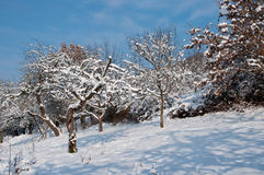 Snowy trees. Some snow covered apple trees in the winter stock images