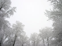 Snowy trees Stock Images