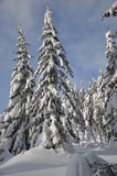 Snowy trees. Snowy coniferous trees in winter Royalty Free Stock Photos