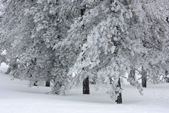 Snowy trees Royalty Free Stock Photography