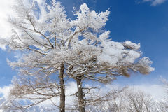 Snowy Trees Stock Photography