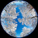 Snowy trees. Fisheye lens image of snowy trees on blue sky Royalty Free Stock Images