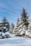 Snowy trees Stock Image